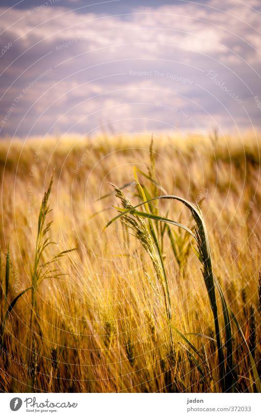 sommer. Getreide Landschaft Pflanze Himmel Wolken Sommer Wärme Gras Nutzpflanze Feld Warmherzigkeit Wachstum Getreidefeld Kornfeld heiß Textfreiraum oben Tag