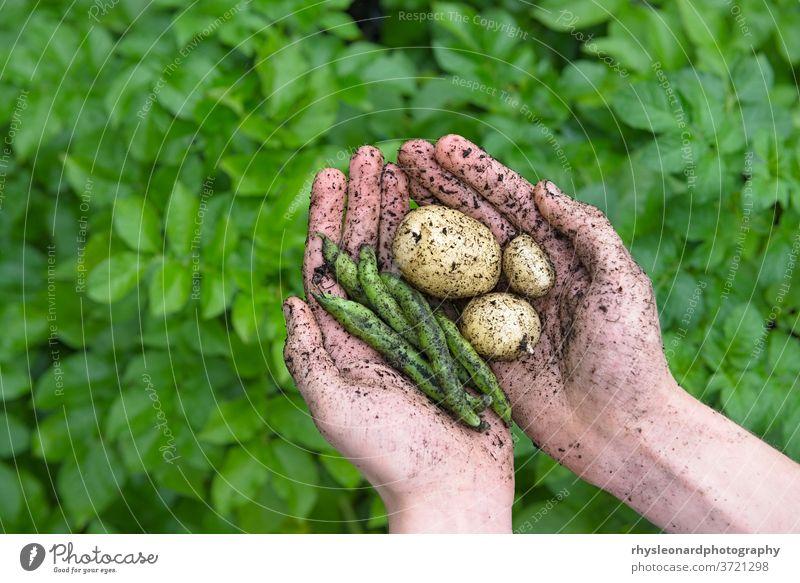 Gartenprodukte, Bohnen und Kartoffeln, in jugendlichen Händen gehalten. jung belaubt Hintergrund Lebensmittel natürlich Gesundheit grün heimwärts gewachsen