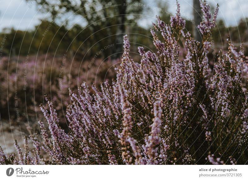 Wildheide am Spätsommertag landwirtschaftliche Fläche Tierwelt Buchse Nahaufnahme Blumenmuster Frankreich Garten Gras grüne Farbe Heidekraut horizontal blühend