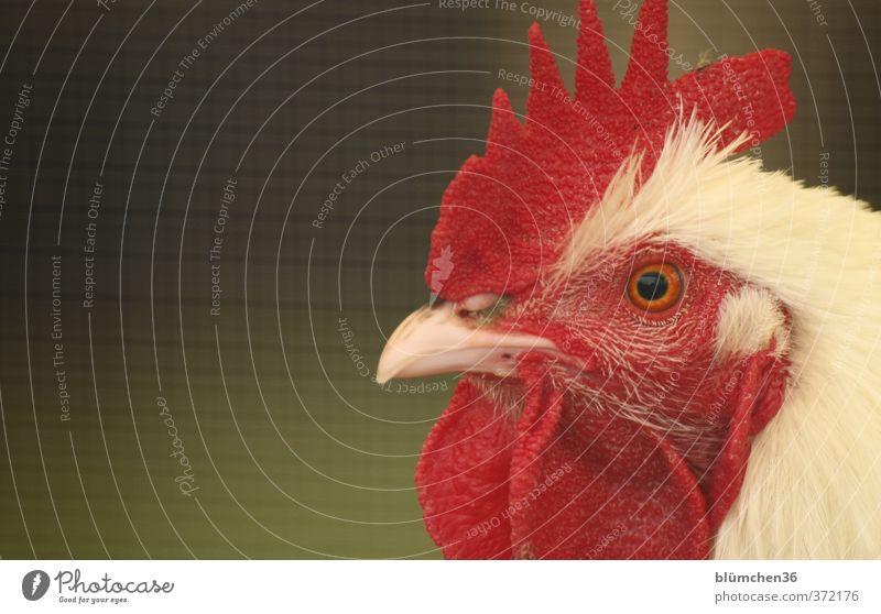 Gockel Gustav Tier Nutztier Vogel Hahn Tiergesicht Kopf Feder Federvieh beobachten Blick ästhetisch schön natürlich rot weiß Landwirtschaft Bauernhof Stolz
