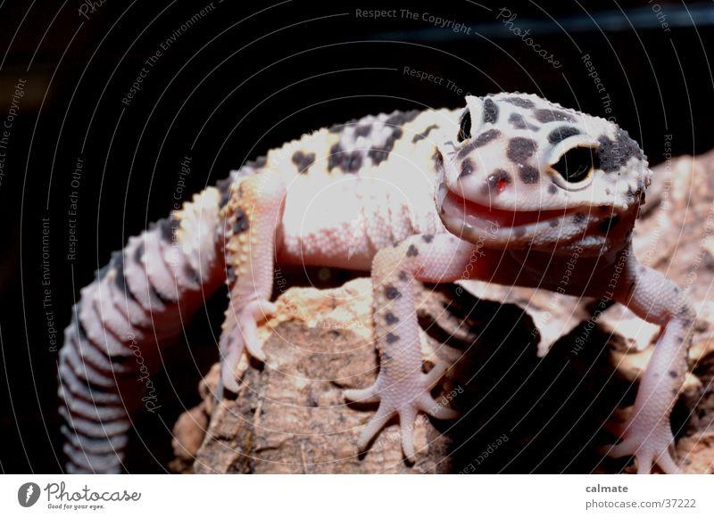 smilegekko Reptil Wurzel Echsen