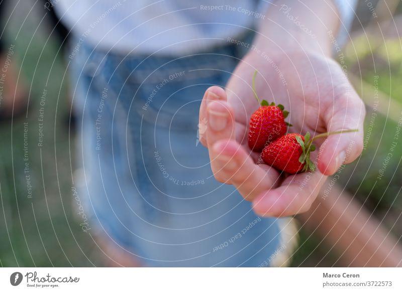 Nahaufnahme der Hand einer jungen Frau, die ein Paar reife Erdbeeren hält, die gerade von ihrer Pflanze in einem Bio-Gemüsegarten gepflückt wurden Frucht