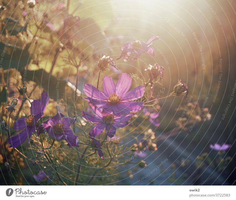 Späte Blüte Cosmea Blüten Leichtigkeit Blume blühend Landschaft Sträucher natürlich Gartenblume Tageslicht Abendstimmung leuchtend geheimnisvoll Wachstum