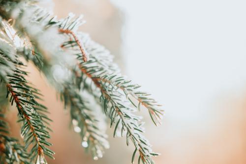 Schnee auf einem freien Baumast abstrakt Hintergründe Branche - Anlagenteil hell Feier Weihnachten Nahaufnahme kalte Temperatur Nadelbaum Textfreiraum