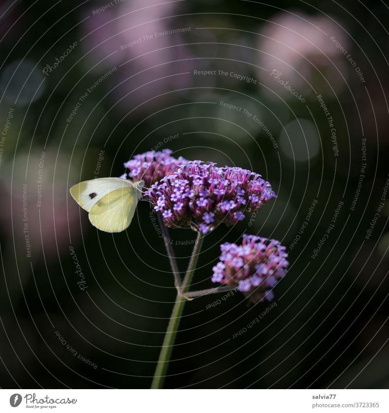 Lieblingsblume Natur Blüte Schmetterling Kohlweißling Verbene Verbena bonariensis Pflanze Blume Nahaufnahme Sommer Insekt Tier Garten Hintergrund neutral Duft