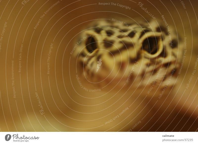 .:Leopardengekko:. #5 Auge Sand Reptil Echsen