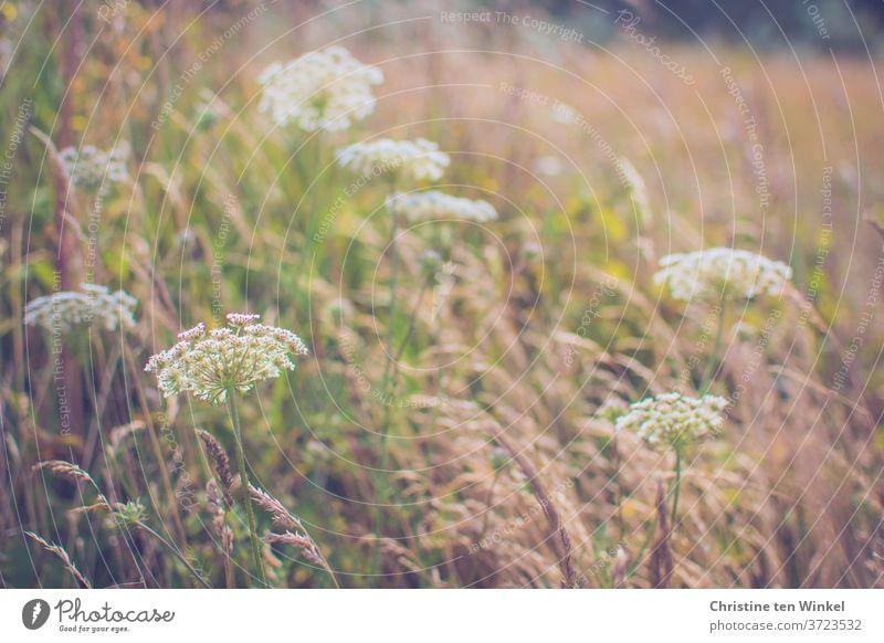 Wilde Möhre auf einer Wiese mit trockenen Gräsern. Verschwommener Hintergrund, man kann einen Wald erahnen Blüte Blütendolde Doldenblüte Doldenblütler Pflanze