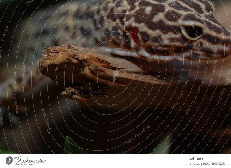 .:Leopardengekko:. #2 Reptil Echsen Baumstamm Gekko Terarium Ast