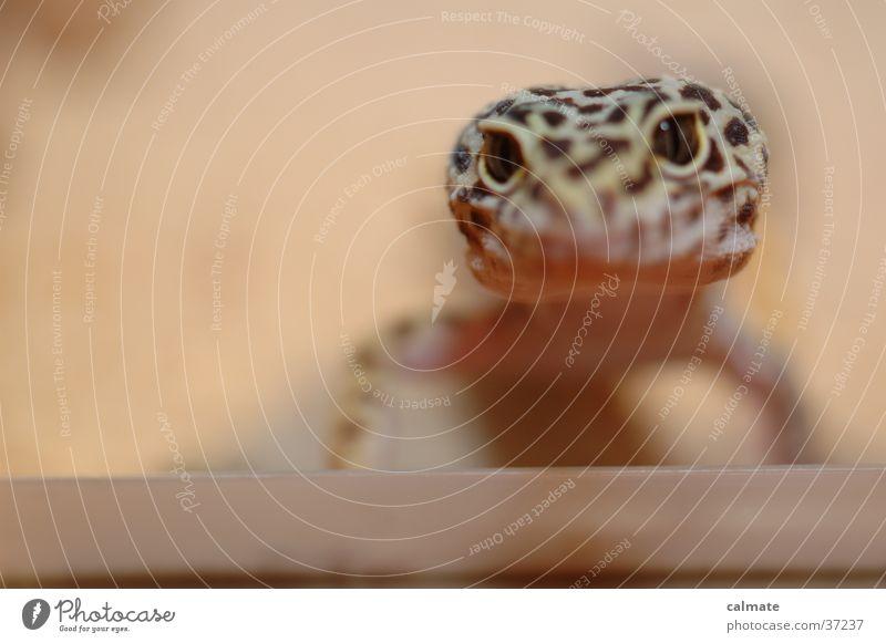 .:Leopardengekko:. #4 Auge Sand Reptil Echsen