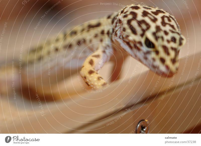.:Leopardengekko:. #3 Reptil Echsen Schraube Gekko Terarium Sand