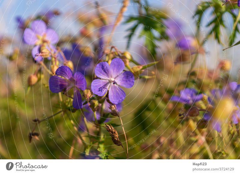 Wiesen-Storchschnabel Blume Pflanze Natur Blüte Außenaufnahme Farbfoto grün Schwache Tiefenschärfe Blühend violett Unschärfe Sommer Menschenleer Tag Nahaufnahme
