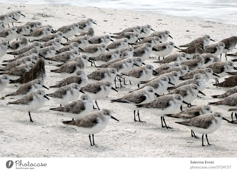 Möwengruppe am Strand des Lover's Key State Park, Florida Air Tier Hintergrund Schnabel schön Vogel Vögel blau hell Küste Küstenlinie Feder Flug Fliege frei