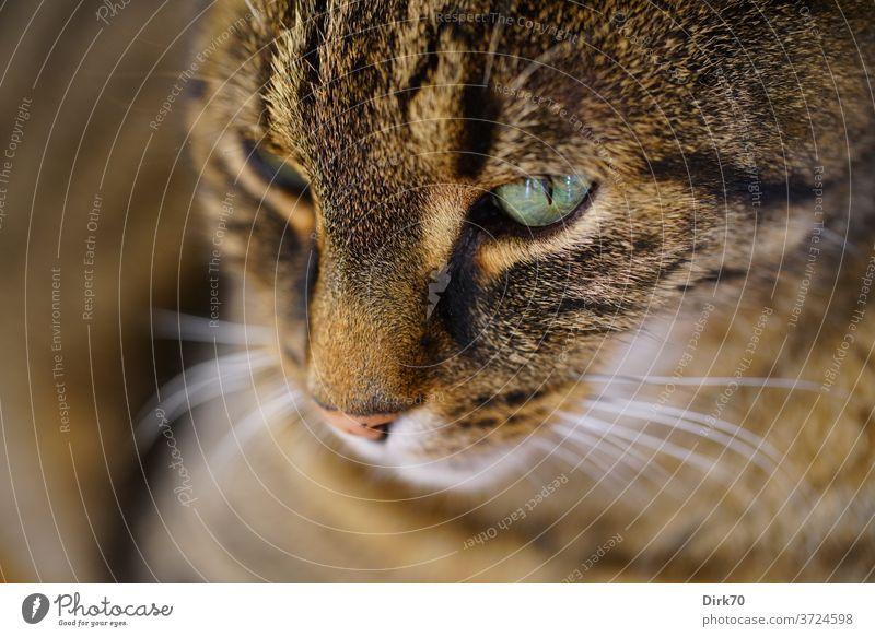 Katzenporträt Katzenauge Tierporträt Haustier Hauskatze Säugetier Fell Schnurrhaar Tiergesicht Katzenkopf niedlich Blick Neugier schön beobachten Farbfoto