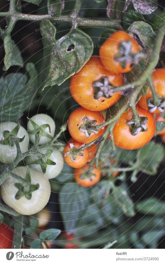 komm, wir pflücken tomaten Tomate Strauchtomate Garten Lebensmittel Gemüse Bioprodukte Vegetarische Ernährung lecker rot Gesundheit Außenaufnahme Menschenleer