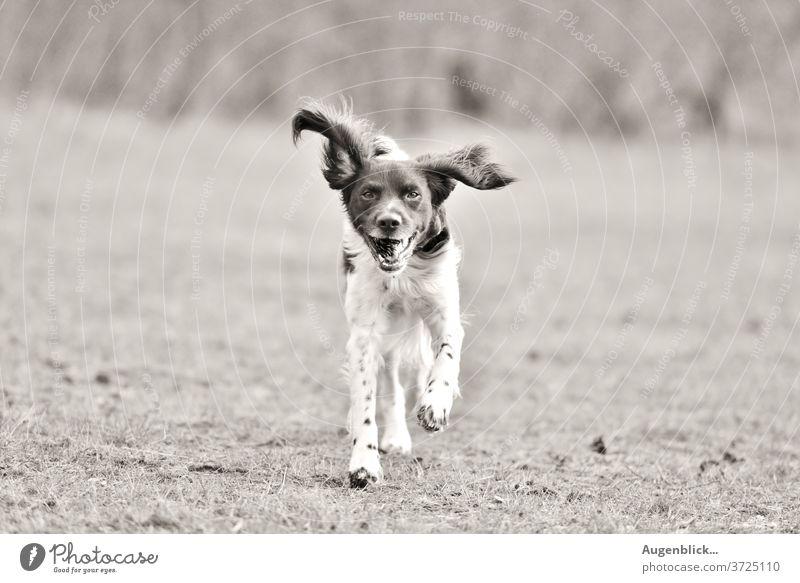 spielender Hund im Garten glücklicher Hund Gassi gehen Feld Spaziergang fliegende Ohren bester freund fell Haustier Tierporträt