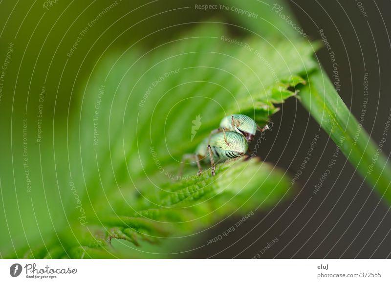 Zweisamkeit Natur Pflanze Tier Gras Blatt Käfer 2 Tierpaar krabbeln Sex natürlich grün schwarz türkis Farbfoto Außenaufnahme Nahaufnahme Detailaufnahme