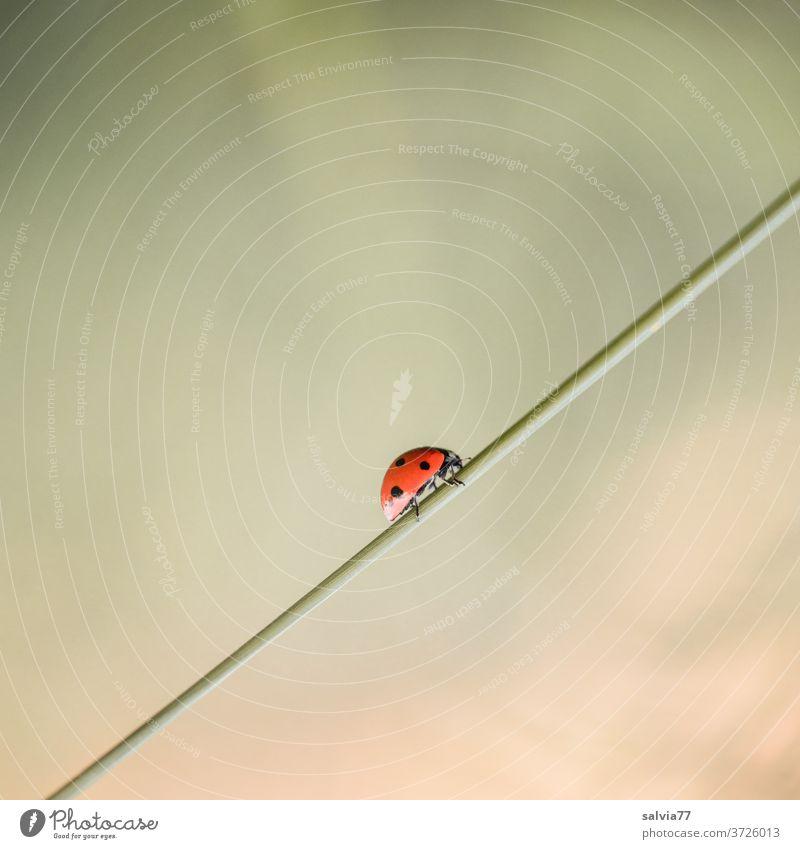 Aufwärtstrend | 1500 Marienkäfer Natur aufwärts Glück krabbeln Makroaufnahme Käfer Nahaufnahme Farbfoto Sommer Insekt Menschenleer Außenaufnahme