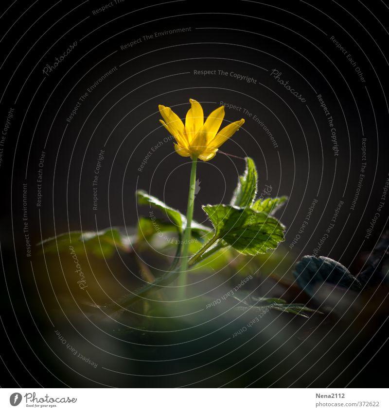 Pflanze | im Spotlicht Umwelt Natur Erde Schönes Wetter Blume Wildpflanze Garten Park Wiese Wald gelb leuchten leuchtende Farben einzeln Farbfoto Außenaufnahme