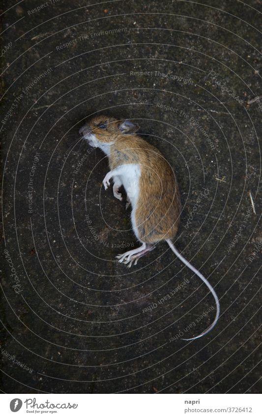 Mausetot |Nahaufnahme einer toten Maus aus Vogelperspektive Vergänglichkeit Tod sterben Schrecken phobie Angst Kreislauf der Natur kadaver Plage Schädlinge
