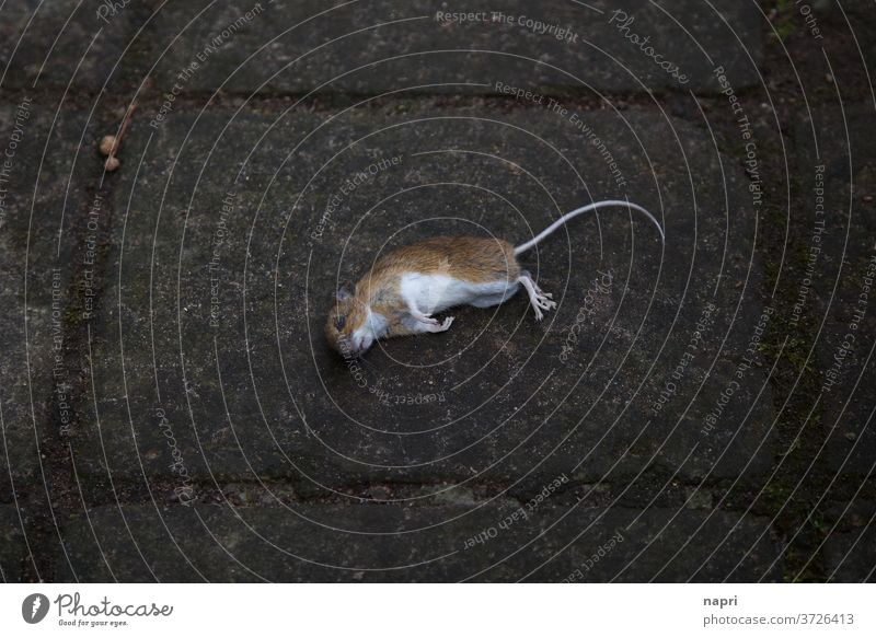 gestorben wird immer | Tote Maus liegt mittig auf Gehweg Totes Tier tot Tod mausetot kadaver Vergänglichkeit Natur sterben phobie Angst Plage gehweg dunkel