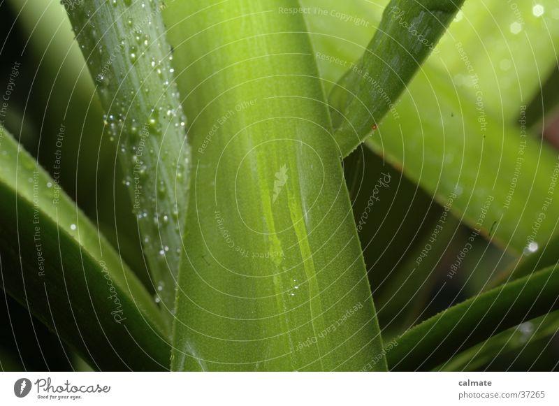 Yukka Zimmerpflanze #5 Pflanze Palme Yucca nass Makroaufnahme Wassertropfen