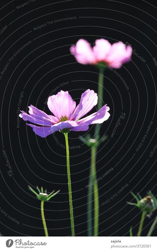Schmuckkörbchen - Cosmea Blume Blüte Sommer Blühend Pflanze Farbfoto Natur Außenaufnahme Tag Sonnenlicht rosa lila dunkler Hintergrund schwarzer hintergrund
