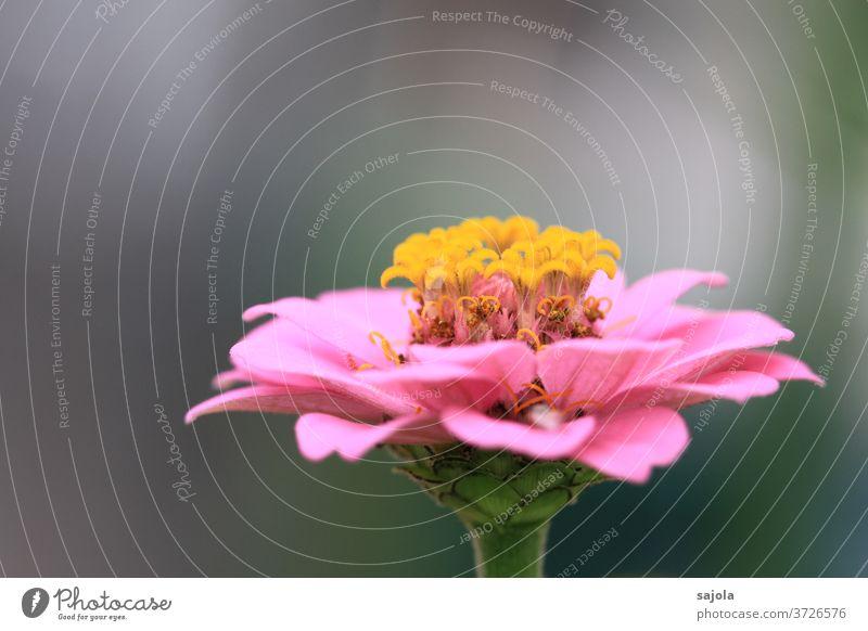 Zinnie Blume Blüte rosa gelb zinnie Pflanze Natur Farbfoto Nahaufnahme Makroaufnahme schön Garten Blühend Schwache Tiefenschärfe natürlich Tag