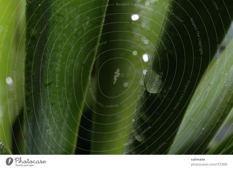 Yukka Zimmerpflanze #4 Pflanze Palme Yucca nass Makroaufnahme Wassertropfen