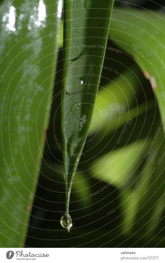 Yukka Zimmerpflanze #8 Pflanze Palme Yucca nass Makroaufnahme Wassertropfen