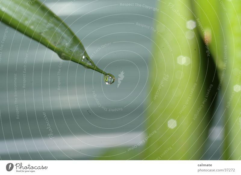 Yukka Zimmerpflanze #7 Pflanze Palme Yucca nass Makroaufnahme Wassertropfen