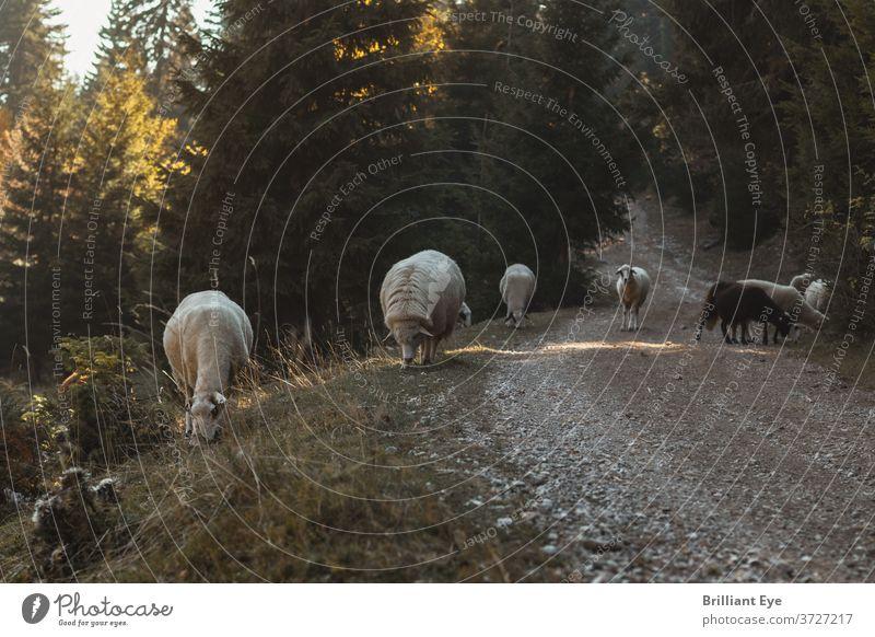 weidende Schafe neben der Schotterstraße Ackerbau Tier Herbst Balkan schön Grashalme Rind Landschaft heimisch essen Umwelt Mutterschaf Landwirtschaft Feld Wald