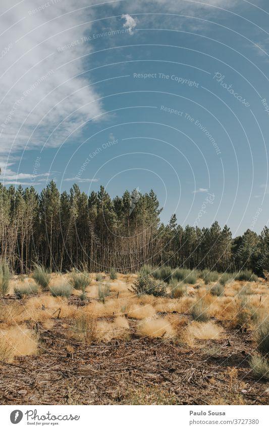 Kiefernwald-Landschaft natürlich Sommer Menschenleer Kiefernzapfen Pflanze Wald Baum Natur Außenaufnahme Tag nadelhaltig Dekoration & Verzierung Nahaufnahme