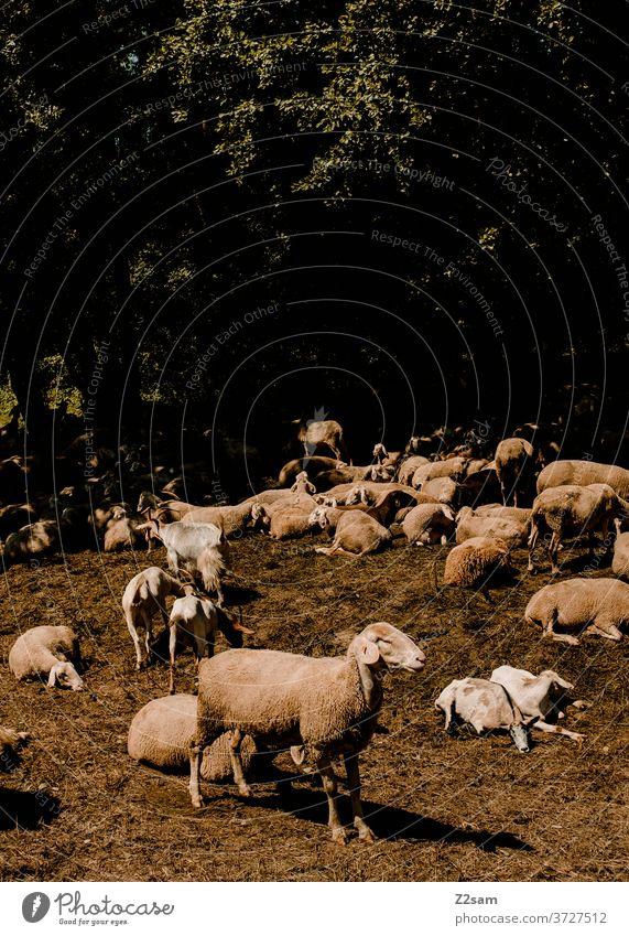 Schafe auf der Heide schafe heide tiere nutztiere wiese grün natur landschaft bayern himmel strommasten schafwolle schlachtvieh Aussenaufnahmen Herde Tiergruppe