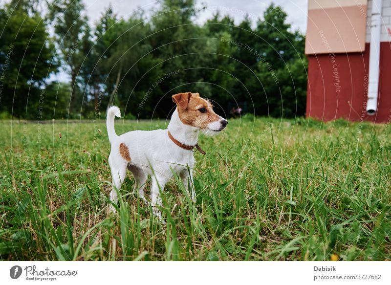 Hund auf der Wiese an einem Sommertag. Jack Russel Terrier Welpe Porträt niedlich Glück Haustier bezaubernd braun Gesicht züchten heimisch Gras Park spielen