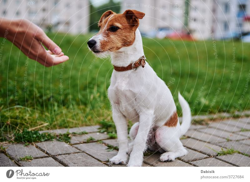 Besitzer füttert seinen Hund draußen. Jack-Russel-Terrier fressen Futter aus der Hand des Besitzers Lebensmittel außerhalb Haustier spielen Porträt Welpe