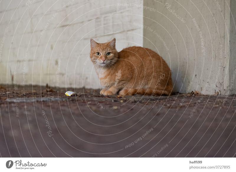 Die Katze ist zurückhaltend und vorsichtig abwartend rothaarig Tierporträt Hauskatze Katzenauge Fell Tiergesicht Katzenkopf Blick Auge Katzenohr Schnauze