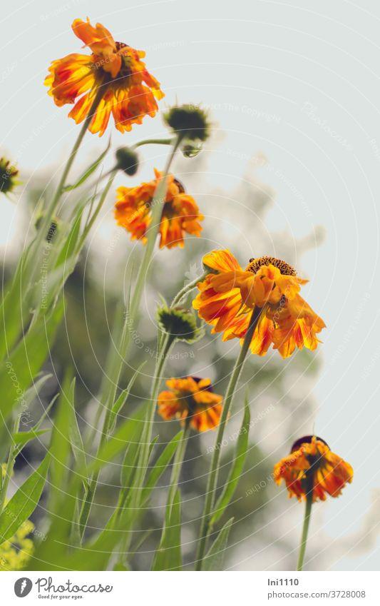 Sonnenbraut gelb orange Helenium Staude Garten Schnittblume Sommer von unten grauer Himmel leuchten Staudenbeet grün