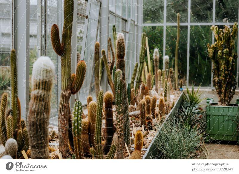 Kakteen-Gewächshaus Kaktus grün Pflanze Natur Dekoration & Verzierung botanisch Botanik Sukkulenten Hintergrund Wachstum exotisch Zimmerpflanze Kakteen-Familie