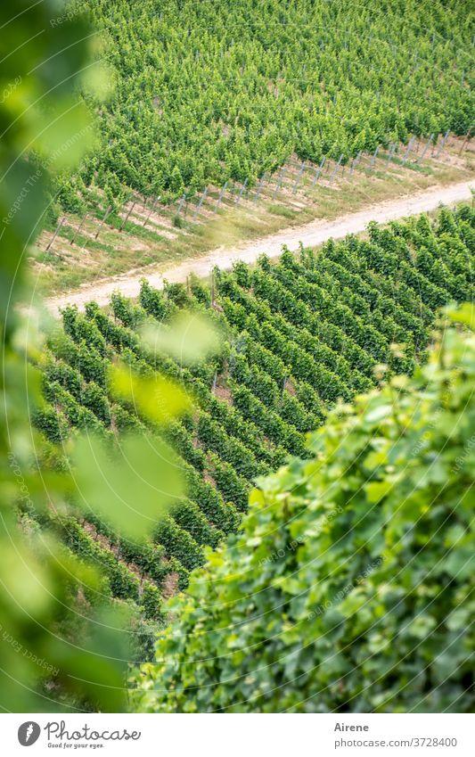 auf der Suche nach der Wahrheit Wein Pflanze Weinbau Weinberg Winzer Landwirtschaft Weintrauben besonnt hellgrün lichtvoll Lebensfreude Frucht Lebensmittel