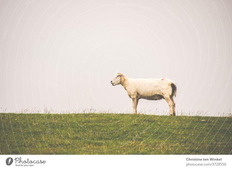 Das Deichschaf steht ganz alleine oben auf der Deichkuppe und hält Ausschau nach seiner Herde Schaf Nordsee grün Tier Natur Sommer Gras Himmel Wiese Nutztier