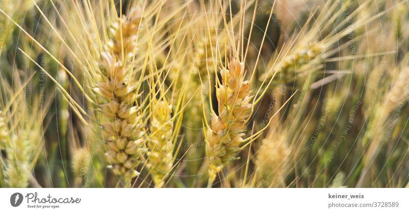 Weizenähren in einer Nahaufnahme Weizenfeld Weizenkörner Weizenernte Feld Außenaufnahme Pflanze Sommer Natur Farbfoto Getreide Nutzpflanze Menschenleer