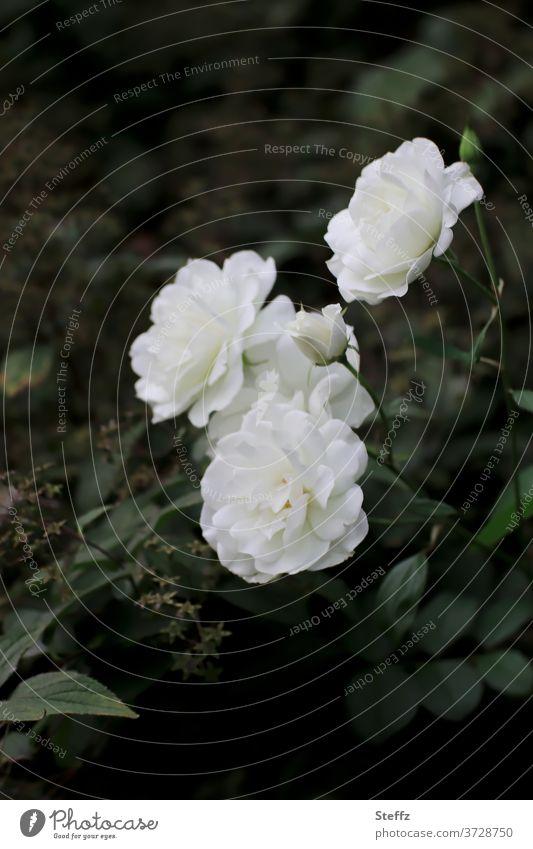 die Wahrnehmung Rose Rosenblüte weiße Rose blühende Rosen weiße Rosen elegant Romantik edel poetisch Sinn Floribunda Rosenduft romantisch duften weiße Blüten