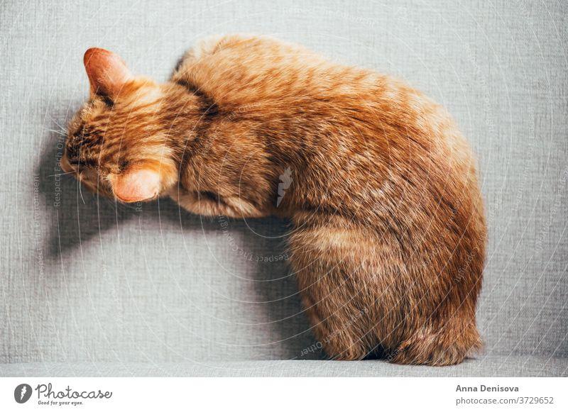 Süßes Ingwer-Kätzchen schläft Katzenbaby niedlich sich[Akk] entspannen auf der Rückseite Sofa Haustier Baby manx schwanzlos heimwärts gemütlich Komfort