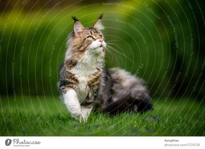 Tabby Maine Coon Katze im grünen Garten maine coon katze Langhaarige Katze Rassekatze Haustiere weiß im Freien Vorder- oder Hinterhof Natur Rasen Wiese Gras