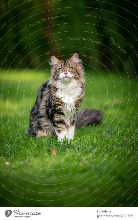Tabby Maine Coon Katze auf Wiese maine coon katze Langhaarige Katze Rassekatze Haustiere weiß im Freien Vorder- oder Hinterhof Garten grün Natur Rasen Gras Fell