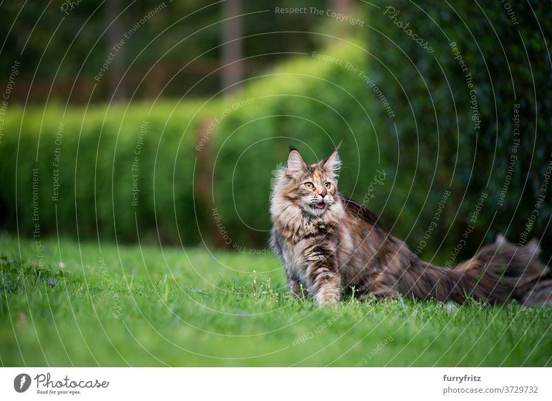 Maine Waschbär Katze im grünen Garten maine coon katze Langhaarige Katze Rassekatze Haustiere Schildpattkatze im Freien Vorder- oder Hinterhof Natur Rasen Wiese