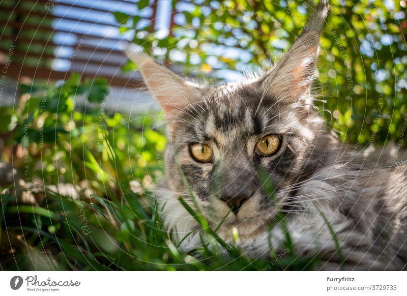 Maine Coon Katze ruht in schattigen Platz im Freien maine coon katze Langhaarige Katze Rassekatze Haustiere Vorder- oder Hinterhof Garten grün Natur Gras Fell