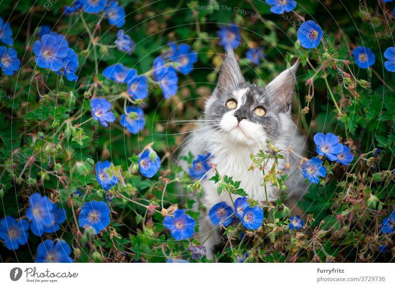 maine coon Kätzchen in zwischen Blumen Katze maine coon katze Langhaarige Katze Rassekatze Haustiere weiß torbie im Freien Vorder- oder Hinterhof Garten grün