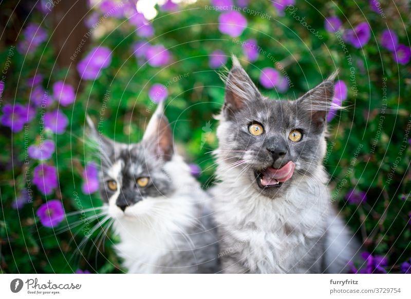 zwei Maine Coon Kätzchen zwischen blühenden Pflanzen Katze maine coon katze Langhaarige Katze Rassekatze Haustiere Blauer Rauch im Freien Vorder- oder Hinterhof