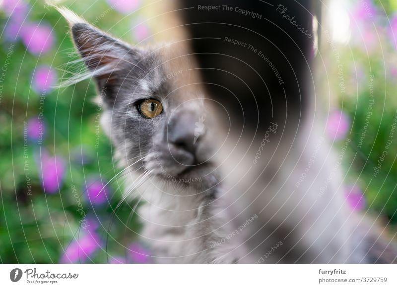 schwarzer Rauch maine coon Kätzchen Porträt Katze maine coon katze Langhaarige Katze Rassekatze Haustiere Blauer Rauch im Freien Vorder- oder Hinterhof Garten